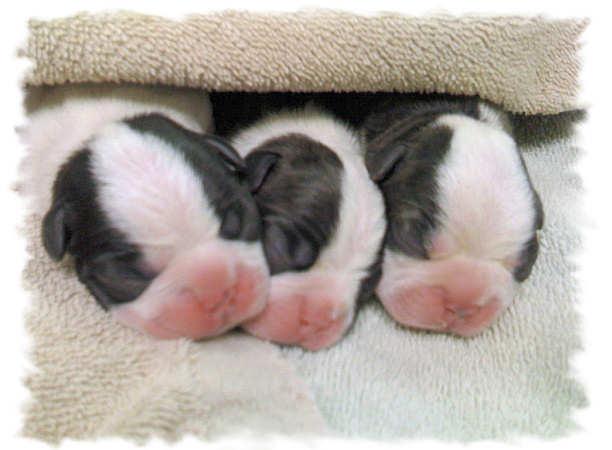 Boston Terrier Newborn Puppies